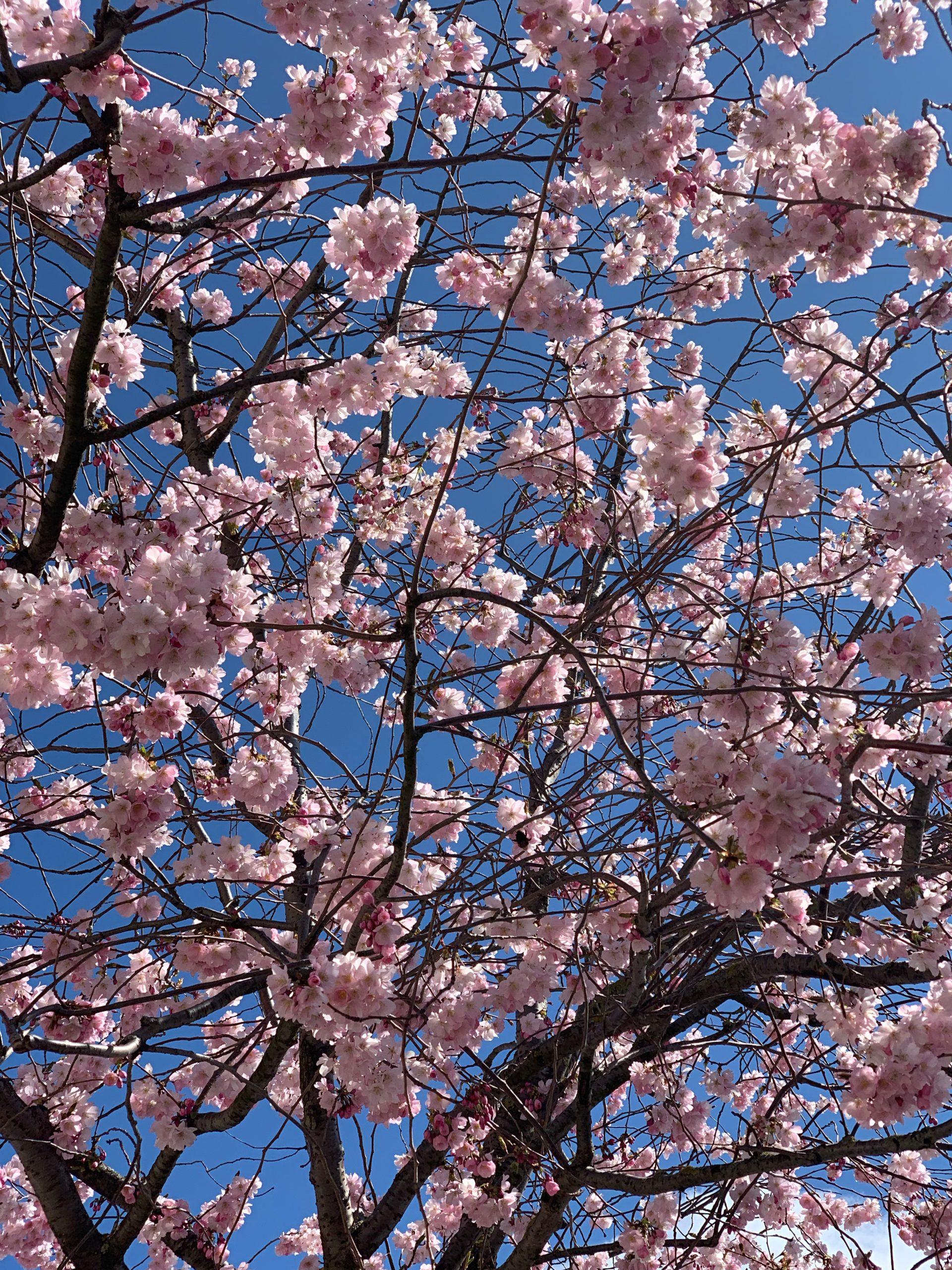 cerisier-fleurs-suisse-printemps